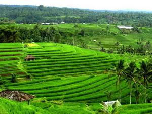 jati-luwih-rice-terrace
