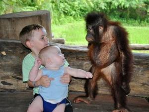 orangutaninbalizoo